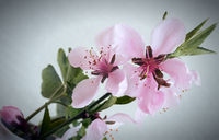 Sprig of peach blossom on white background.