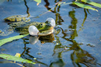 Croaking green frog in the water