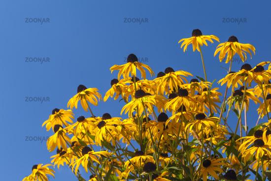 Sonnenhut (Rudbeckia) vor blauem Himmel