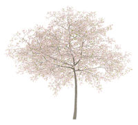 flowering cherry tree isolated on white background. 3d illustration