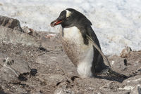 Gentoo Penguin male who carries a stone to his nest through a colony on a sunny spring day