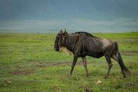 White-bearded wildebeest walks across grassland in sunshine