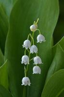 Maiglöckchen, Convallaria majalis, lily of the valley
