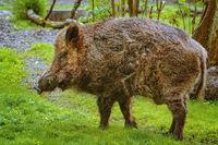 Wild boar on the lawn