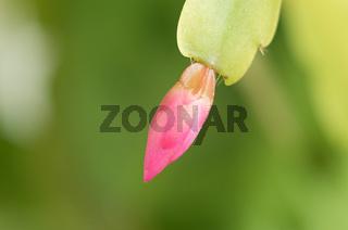 Pink flower buds. Macro pink flowers. Flower buds not opening. Pink flower buds. Homemade garden.