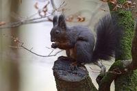 dunkle Variante... Europäisches Eichhörnchen * Sciurus vulgaris *