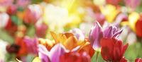 Tulpen in warmer Frühlingssonne