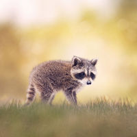 Baby Raccoon walking on the grass