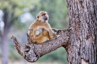 Steppenpavian, South Luangwa Nationalpark, Sambia, (papio cynocephalus)   baboon, South Luangwa National Park, Zambia, (papio cynocephalus)
