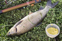 Large fresh fish caught in the river