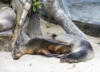 Schlafende Galapagos Seelöwen (Zalophus wollebaeki)