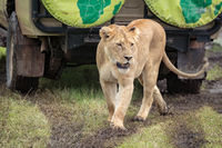 Lioness walking on muddy grass looks down
