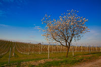 Apple Orchard Rows in spring. Fruit trees over bright blue sky.
