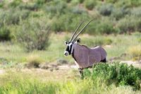 Gemsbok, Oryx gazella in Kalahari