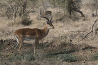 male impala who stands among the bushes in the African savannah on a hot day