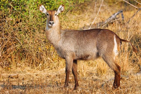 Wasserbock, South Luangwa NP, Sambia, (Kobus ellipsiprymnus) | Waterbuck, South Luangwa NP, Zambia, (Kobus ellipsiprymnus)