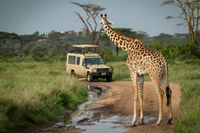 Masai giraffe blocks flooded track for jeep