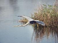 great blue heron in flight over wetlands