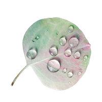 Eucalyptus Leaf with Rain Droplets