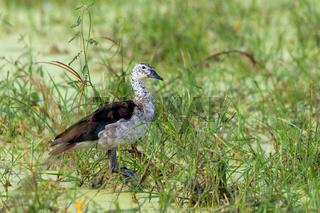 knob-billed duck Botswana Africa safari wildlife