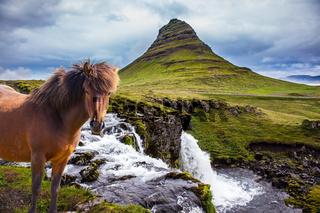 Ruffled sleek Icelandic horse