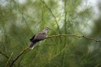 Eurasian collared dove, Streptopelia decaocto, Bhigwan, Pune district, Maharashtra, India.
