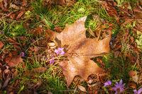 Dry Maple Leaf