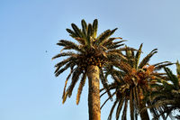Few palm trees with green-brown leaves on sunny sky background