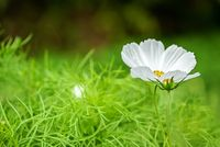 Cosmos flower with blurred background. Cosmea flower