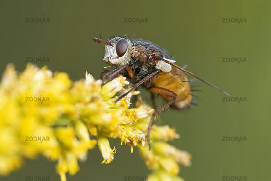 1 BA Fliege 1.jpg
