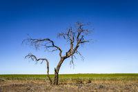 Lone tree in outback Australia