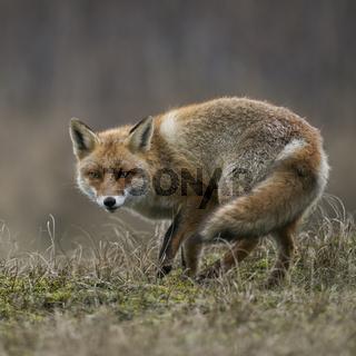 listiger Fuchs... Rotfuchs * Vulpes vulpes *