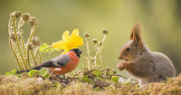 red squirrel standing with a male bullfinch