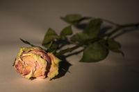 Verblühte Rose auf einem Tisch liegend, beleuchtet