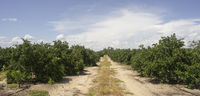 Ripe Limes on the Tree Deep South Agriculture Fruit Orchard