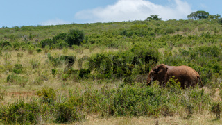 Elephant walking in the forest of long grass