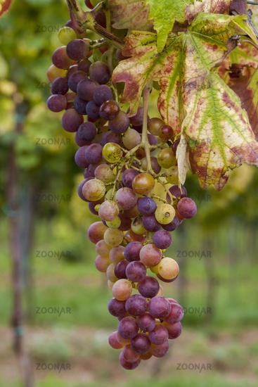 Weintraube am Rebstock