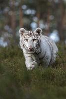 Neugierde... Königstiger * Panthera tigris *