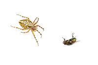 Cross spider and fly isolated on a white background