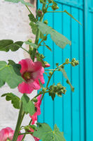 Pink Hollyhocks with blue blinds