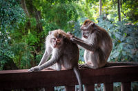 Monkeys in the Monkey Forest, Ubud, Bali, Indonesia
