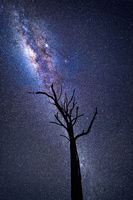 Milky Way galactic core shining brightly over old dead tree