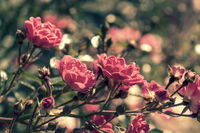Delicate roses on the bush