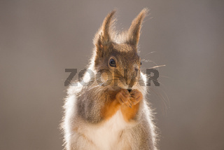 Closeup of red squirrel in sun
