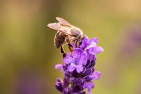 Bee pollination on a lavender flower. Macro photo. Close up.