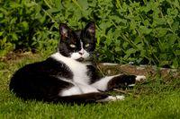 Katze an der Katzenminze