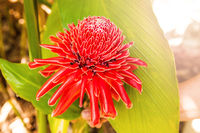 Red ginger lily flower.