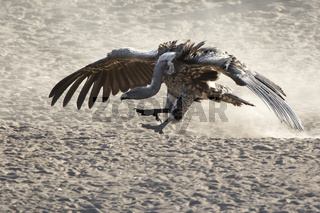 Ruppells Griffon Vulture jumping over the sand with its wings folded nearby along the bank of a small river