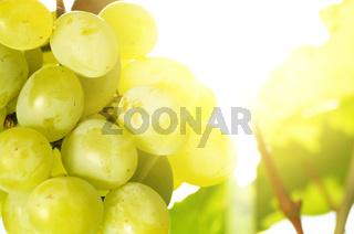 Green grape cluster against sunlight closeup view