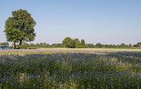 Feld mit Bienenfreund (Phacelia)